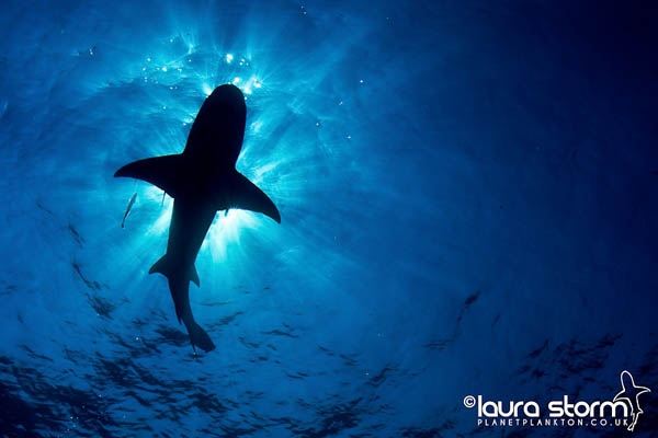 Shark image from Glass and Water book by Mark Harris taken by Laura Storm