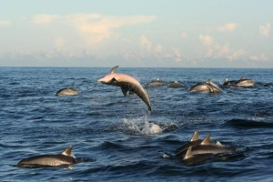 Spinner dolphins on freediving holiday in Sri Lanka