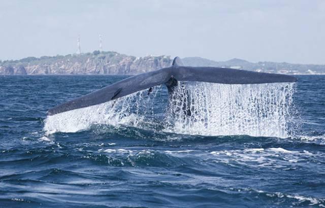 Blue whale fluke on freediving holiday in Sri Lanka