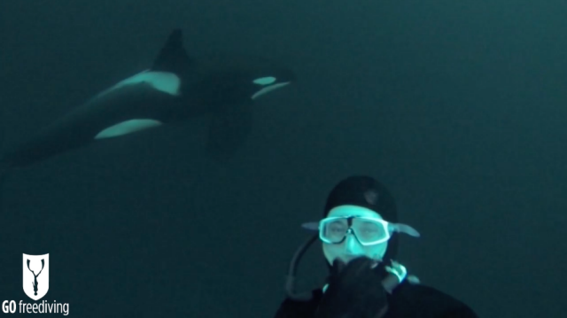 Freediving with Orcas David orca selfie