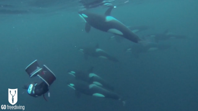 Freediving with Orcas. Freedivers with orcas_web