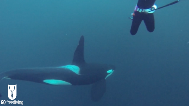Freediving with Orcas