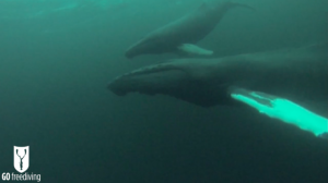 Freediving with humpback whales in Norway