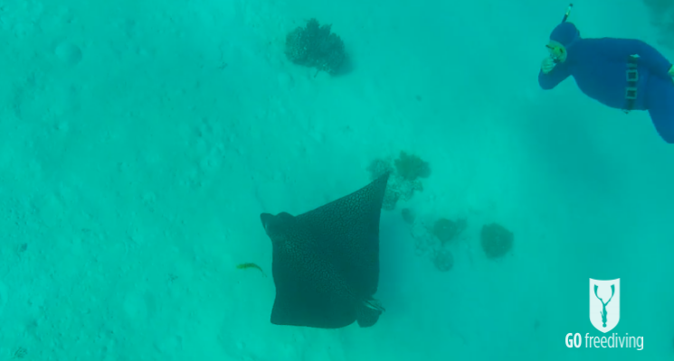 Freediving holiday in the red sea Elena freediving with a ray