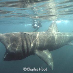 Go Freediving Holidays and Trips - Basking Shark photo credit Charles Hood