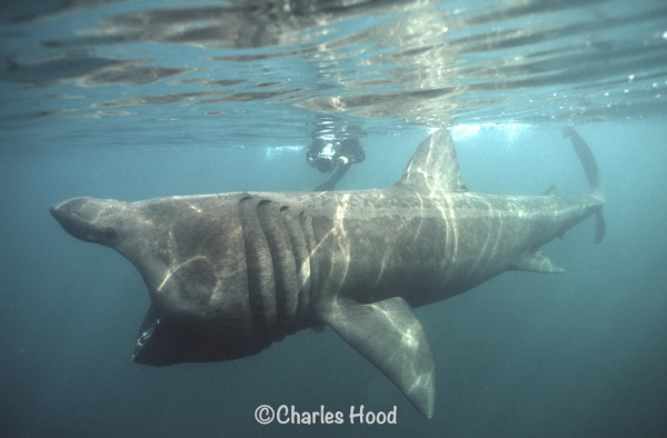 Go Freediving Holidays and Trips - Basking Shark photo credit Charles Hood