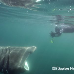 Go Freediving Holidays and Trips - Basking Shark with diver photo credit Charles Hood