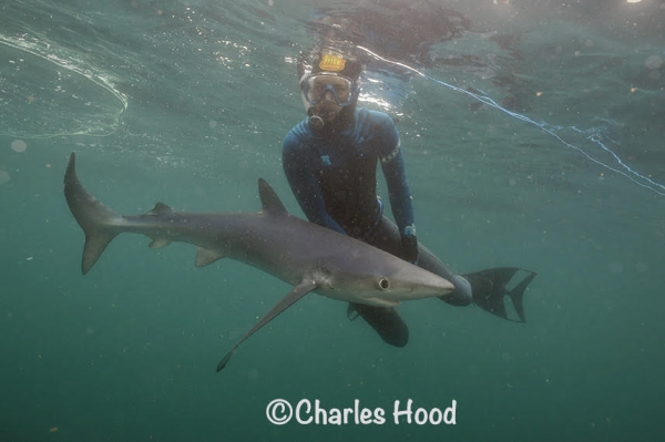 Go Freediving Holidays and Trips - shark and diver photo credit Charles Hood