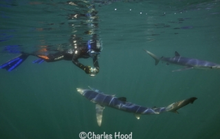 Go Freediving Holidays and Trips - sharks and diver photo credit Charles Hood