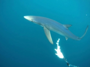 blue shark trip 2017 - Nick Kenny1
