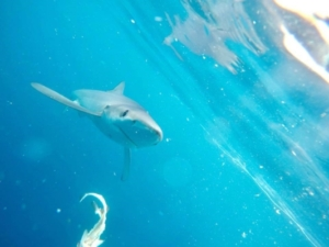 blue shark trip - Nick Kenny2
