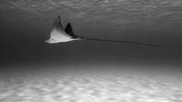 Go freediving - freediving and photography - Lance Sagar - ray