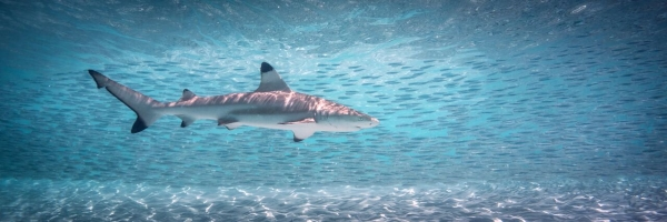 Go freediving - freediving and photography - shark