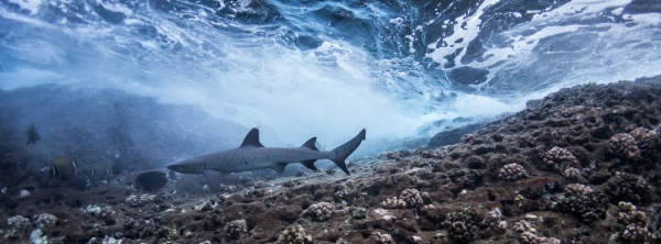 Go freediving - freediving and photography - shark2