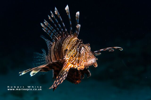 -freediving and underwater photography - rob white lionfish