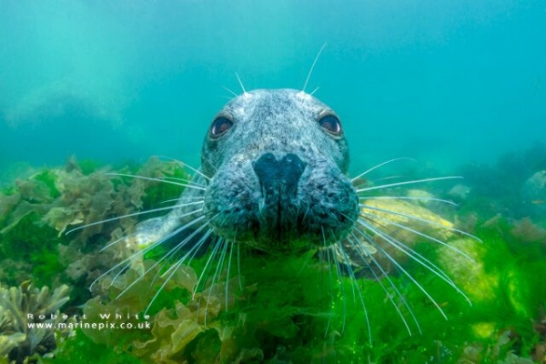 freediving and underwater photography - rob white seal