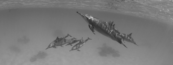 go freediving - underwater photographer danny spitz - dolphins2