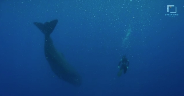 go freedving - freediving with sperm whales - patrick ayree 10