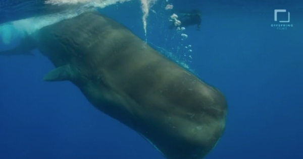 go freedving - freediving with sperm whales - patrick ayree 8