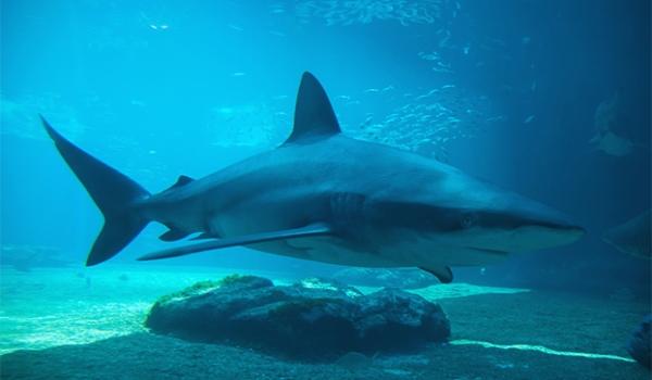 dusky-shark