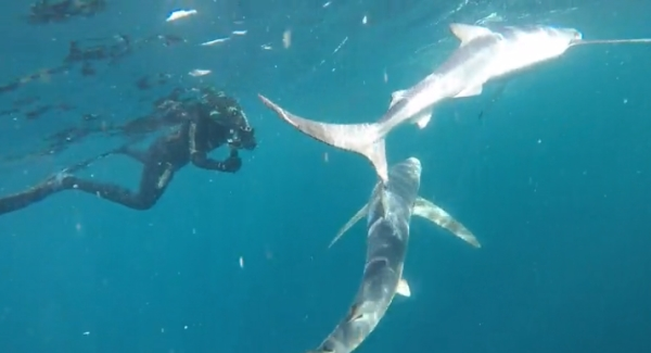 freediving with sharks - sharks6