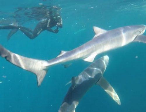 Freediving with sharks in Cornwall