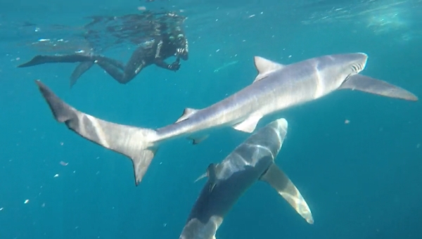 freediving with sharks - sharks9