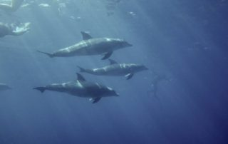 Red Sea Freediving Holiday - dolphins2