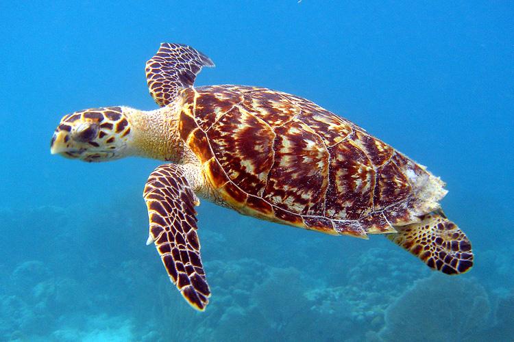 Hawksbill-Turtle - gofreediving