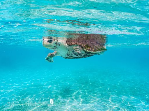 Azura rescue turtle sea swim