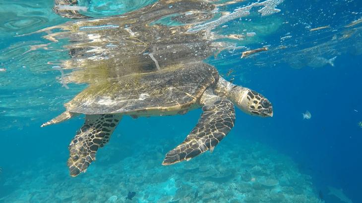 finding harry - turtle rescue maldives