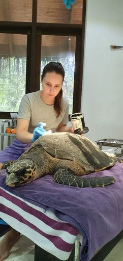 rescue treatment release harry hawksbill turtle 2