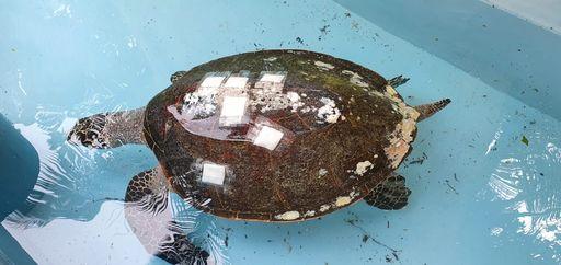rescue treatment release harry hawksbill turtle